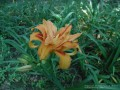 Double Day Lily (Thumbnail)