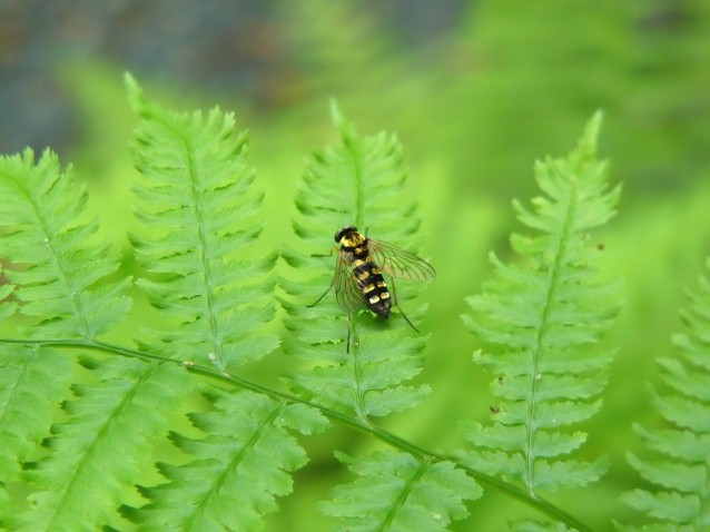Snipe fly on Fern (Preview)