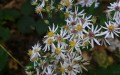 White Wood Aster (Thumbnail)