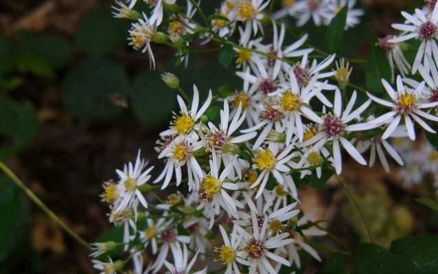 White Wood Aster (Preview)