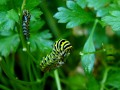 Black Swallowtail Caterpillar (Thumbnail)