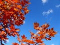 Autumn Sugar Maple Sky (Thumbnail)