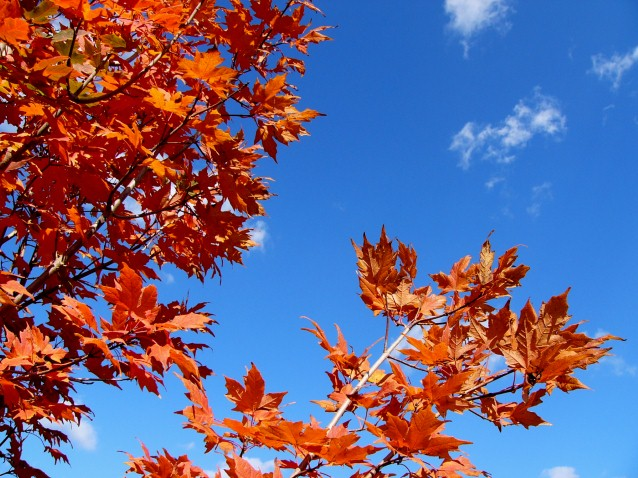 Autumn Sugar Maple Sky (Preview)