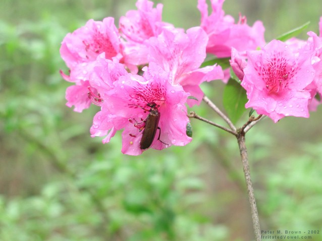 Beetle on Pink Azalea (Preview)