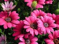 Pink and Purple Flowers (Thumbnail)