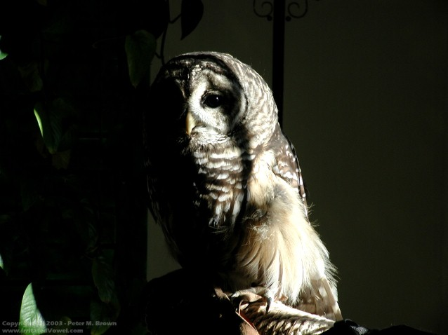 Barred Owl (Preview)