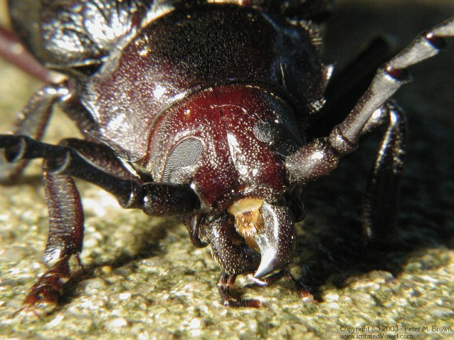Extreme Closeup Beetle (Preview)