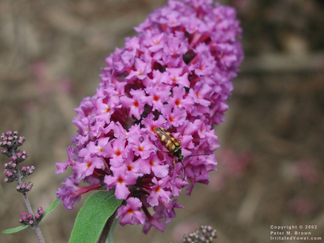 Bug on Butterfly Bush (Preview)