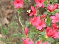 Bumble Bee on Red Azalea (Thumbnail)