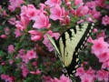 Yellow Swallowtail Butterfly on Pink Azalea (Thumbnail)