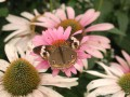 Buckeye Butterfly on Purple Cone Flower (Thumbnail)