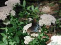Butterfly on Stonecrop (Thumbnail)