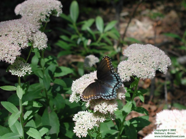 Butterfly on Stonecrop (Preview)