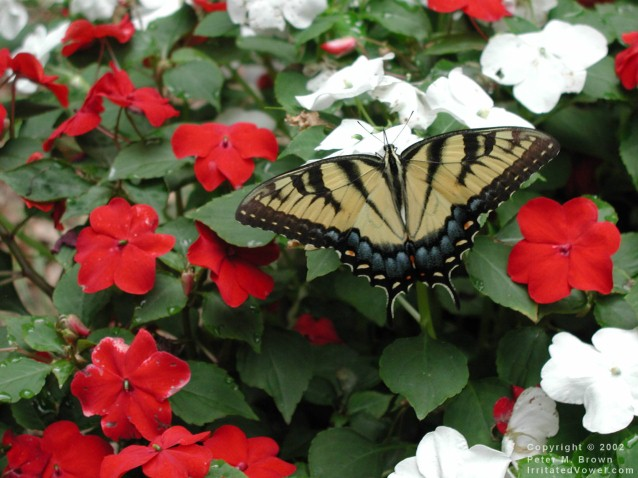 Butterfly on Red and White Flowers (Preview)
