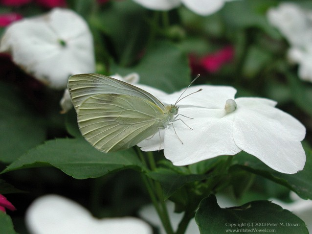 Cabbage White Butterfly on Impatiens (Preview)