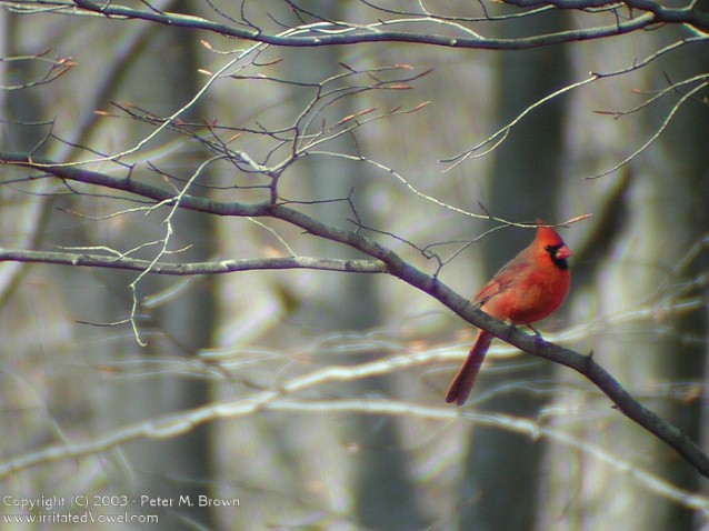 Red Cardinal on Branch (Preview)