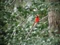 Red Male Cardinal in a Holly Tree (Thumbnail)