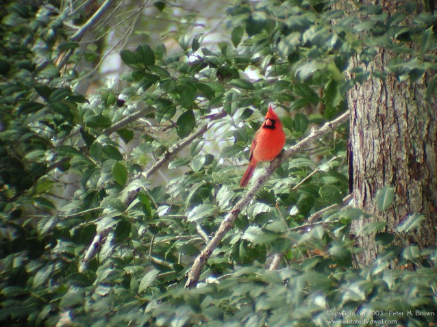 Red Male Cardinal in a Holly Tree (Preview)