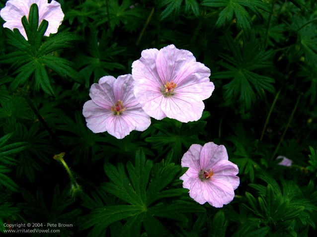 Contrasty Pink Geranium (Preview)